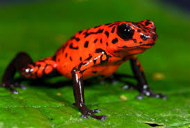 poison frogs make their babies toxic too u2013 national geographic