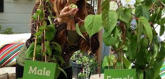 Beginners How To Grow Just by How To Grow Kiwi From Store Bought Kiwi Fruit The Foodie Gardener