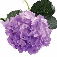 purple hydrangea wholesale hydrangeas hydrangeas for diy weddings