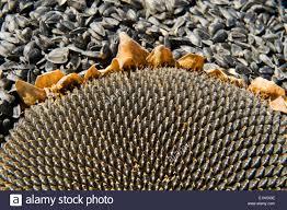 black oil sunflower seeds stock photos u0026 black oil sunflower seeds