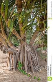 Kings Park Botanic Garden by Roots Of Gandjandjal Tree In Kings Park And Botanical Gardens