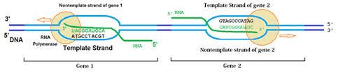 template optimization using in vitro transcription