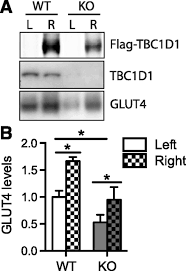 the rabgap tbc1d1 plays a central in exercise regulated