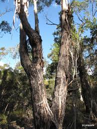 sydney s wildflowers and plants eucalyptus piperita