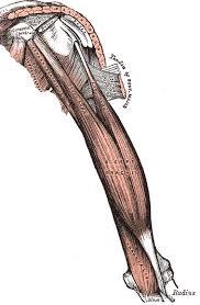 Bicep Innervation Biceps Brachii Ganfyd