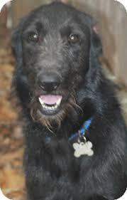 belgian sheepdog lab mix norwalk ct irish wolfhound labrador retriever mix meet boston