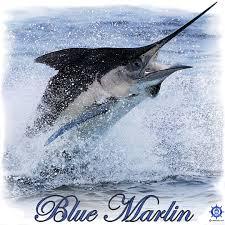 a blue marlin fishing t shirt design at http captntom com