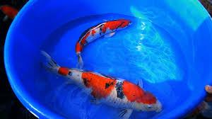 koi carp and fish identification 1 of 3