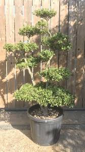 Topiary Cloud Trees - osmanthus goshiki cloud tree buy uk