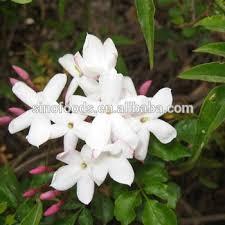 Jasmine Tea Flowers - su xin hua dry flowers kidney stones remedy buy kidney stones