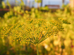 summer fennel yellow flower wallpaper large size