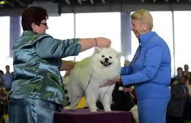 american eskimo dog calgary gallery 2013 westminster kennel club dog show