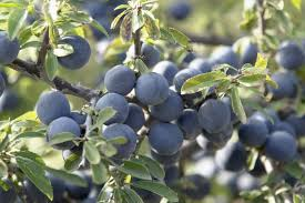 native irish plants information about blackthorn plants u2013 what are uses for blackthorn