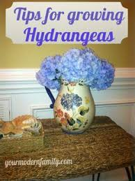 Gardening Tips For Summer - planting hydrangeas for summer color planting hydrangea and gardens