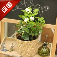 small potted plants jasmine flowers indoor plant flowers desktop office small potted