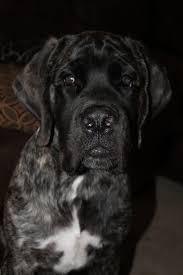 banana joe affenpinscher pedigree 30 best dog show images on pinterest animals dogs and dog show