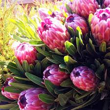 Protea Flower Unique Protea Flowers For Valentine U0027s Day Flowerbud
