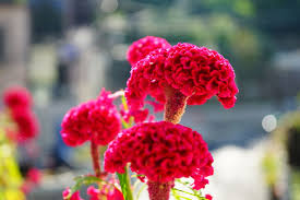 celosia flower celosia flowers offer plumes feathers and blooms