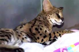 New Jersey Wildlife images Cat described as 39 leopard 39 found roaming new jersey streets petcha jpg