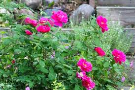 roses wholesale garden roses garden roses vs regular roses fashionway info