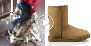 of the ugg boot the ugg boots investigation shows sheep