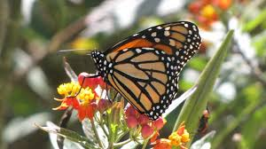 caterpillar quiz how to tell the difference between monarchs and