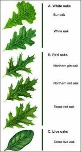 ash tree identification of bark leaves and buds signs of
