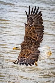 347 best eagles images on pinterest