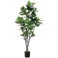 Low Light Indoor Trees 13 Best Indoor Trees Images On Pinterest Indoor Trees Potted