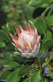 Protea Flower Closeup Of Single Pink King Protea Flower Opening White Center