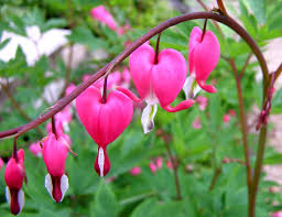 bleeding heart flower file bleeding heart flower jpg wikimedia commons