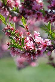 Clingstone by Clingstone Peach Trees Images Reverse Search