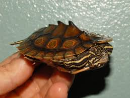 map turtle ringed map turtles for sale from the turtle source