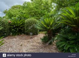 Rockhton Botanic Gardens And Zoo Cycads At The Rockhton Zoo Botanical Gardens Stock Photo