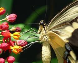 butterfly anatomy the thorax and legs mosi outside