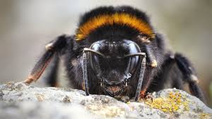 bumble bees are surprisingly innovative science aaas