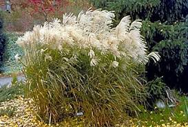 ornamental grasses for minnesota yard and garden garden
