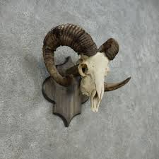 corsican ram skull european mount 14685 for sale the taxidermy