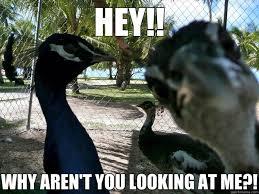 Peacock Meme - attention seeking peacock memes quickmeme