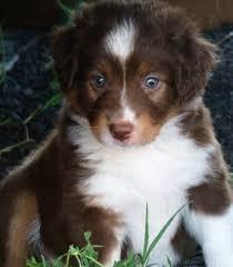 australian shepherd blue eyes 2144 best australian shepherds images on pinterest animals