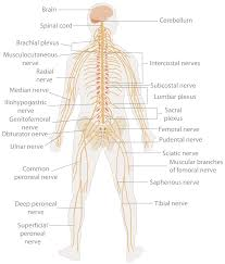 What Is A Reflex Action Example The Nervous System Boundless Psychology