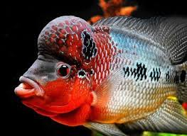 flower horn fish a variety of ornamental fish big cichlids