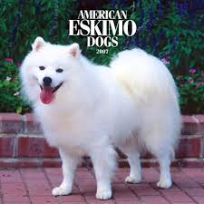 american eskimo dog dallas 8 best puppies images on pinterest animals adorable animals