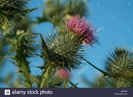 thistle plant weed flower scotland scottish national flower spike