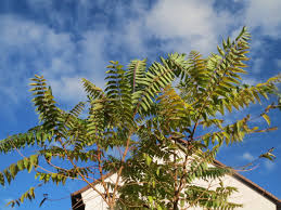 trees are also native plants tree of heaven this invasive species has insanely successful