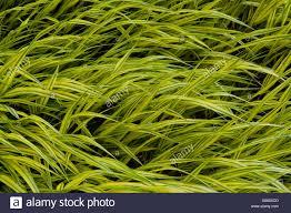 Washington State Botanical Gardens Bellevue Botanical Garden With Reed Canary Grass Phalaris