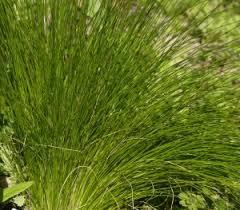 mexican feather grass central gardener