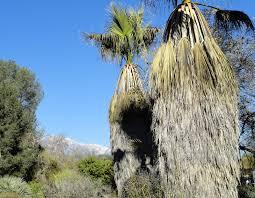danger garden rancho santa ana botanic garden the palm oasis