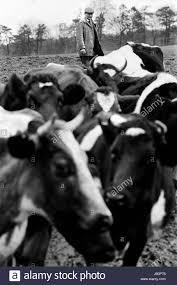 herd of cows black and white stock photos u0026 images alamy