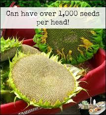 best 25 mammoth sunflower ideas on pinterest growing sunflowers